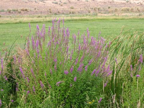 Swcd grant opportunites native plantsnoxious weeds info grows up to 7 ft tall upright bushy plant flowers pink to purple possessing 5 6 petals and numerous on a long spike spreads by seed and spreading mightylinksfo
